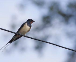 Depuis 2001, les populations d'oiseaux des villes et villages mais aussi des milieux agricoles ont chuté de près de 15 % en Auvergne Rhône-Alpes.