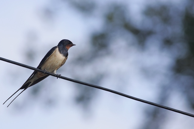 En Auvergne Rhône-Alpes, le déclin des oiseaux des villes et villages se poursuit alerte la LPOL'hirondelle rustique fait partie des oiseaux les plus touchés par l'artificialisation des milieux et l'urbanisation © Guy Bourderionnet