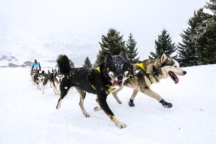 La Grande Odyssée Savoie Mont Blanc, grande course annuelle de chiens de traîneaux en Savoie et Haute-Savoie. © Vincent Piccerelle