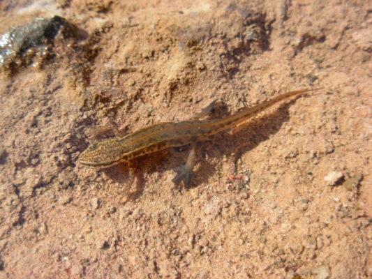 Le triton palmé est également menacé dans l'agglomération grenobloise. © La salamandre tachetée est une des espèces patrimoniale menacées dans le bassin grenoblois. © Rémi FONTERS - LPO