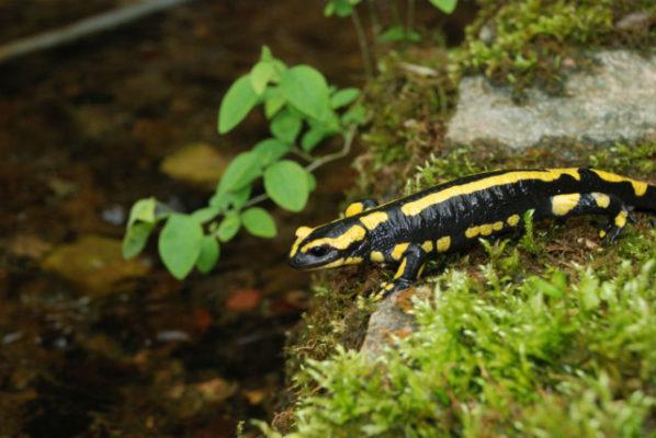 La salamandre tachetée est une des espèces patrimoniale menacées dans le bassin grenoblois. © Rémi FONTERS - LPO