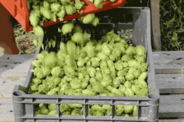 Une Petite Mousse se positionne aujourd'hui, avec la vente de plants de houblon, livrés dans toute la France dans un emballage pensé pour les protéger au mieux durant le transport. DR