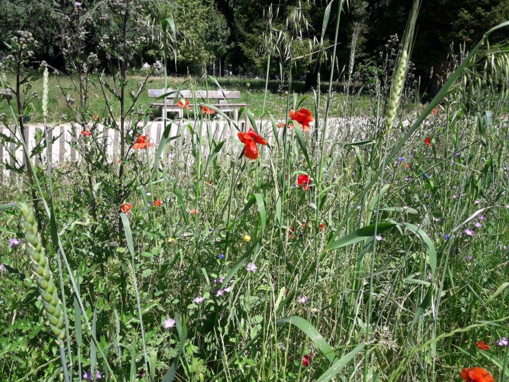 Grenoble adopte une gestion naturelle des espaces verts Le nouveau plan de gestion naturelle des espaces verts de la ville de Grenoble laisse plus de place aux fleurs sauvages. ©Léa Meyer - Place Gre'net