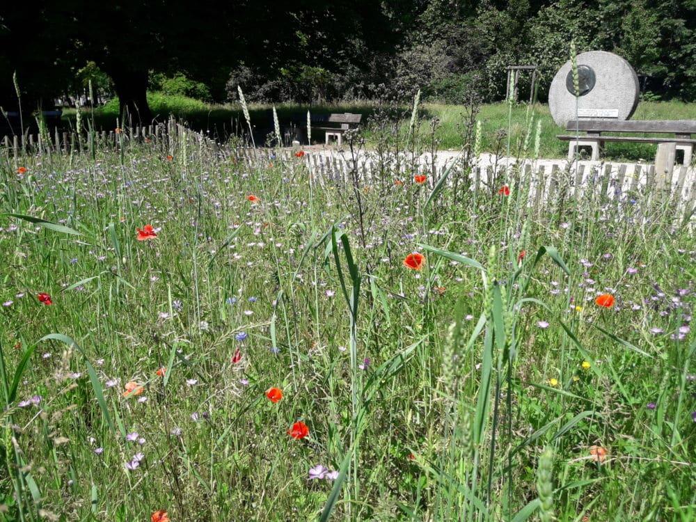 Le nouveau plan de gestion naturelle des espaces verts de la ville de Grenoble laisse plus de place aux fleurs sauvages. ©Léa Meyer - Place Gre'net