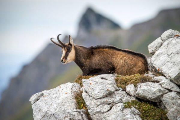Le massif des Bauges est connu pour sa population de chamois. @ rottonara/Pixabay