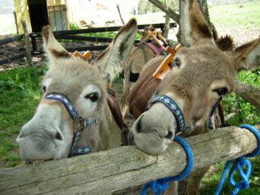 17 Barroud'âne Espliègerie à la barre d'attache
