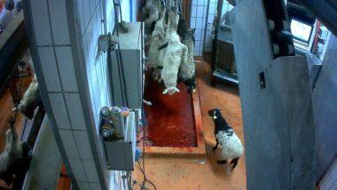 Isère : recommandations du préfet pour un Aïd sans covid.L214 https://animaux.l214.com/Moutons/abattoir-mauleon-2016-agneaux - Wikipedia