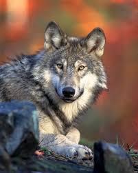 One Voice demande l'arrêt des abattages de loups