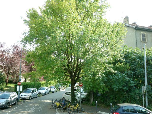 Le Collectif craint l'abattage du chêne de la rue © Collectif Île Verte
