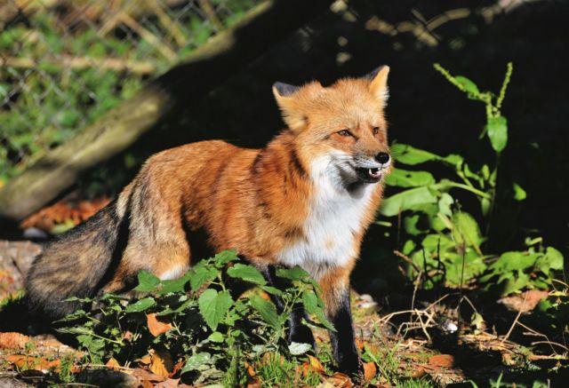 Le tribunal administratif de Grenoble a invalidé l'autorisation de la chasse au renard pendant le confinement. DR