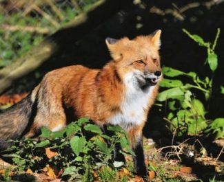 Le tribunal administratif de Grenoble annule l'autorisation de la chasse au renard durant le confinement