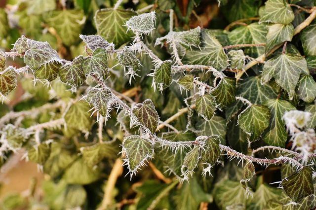 Le réseau de botanistes francophones Tela Botanica propose aux citoyens de saisir leurs observations des dégâts causés par le gel tardif sur la végétation. DR