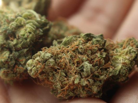 Les Deux Alpes : un homme de 23 ans cultivait du cannabis sur tout un étage de sa maison, 32 plants saisis. C'est dans les sommités florales ou têtes qu'est concentré le tétra-hydro-cannabinol (THC), la substance psychoactive du cannabis. DR