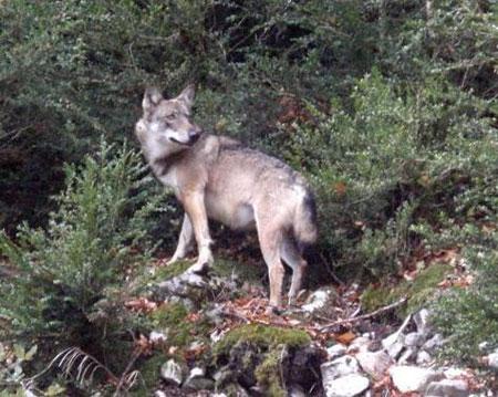 Le nombre de loups pouvant être abattus passe du simple au double. Cent loups vont pouvoir être abattus en France. Quatre ont déjà été tués en Isère en 2019