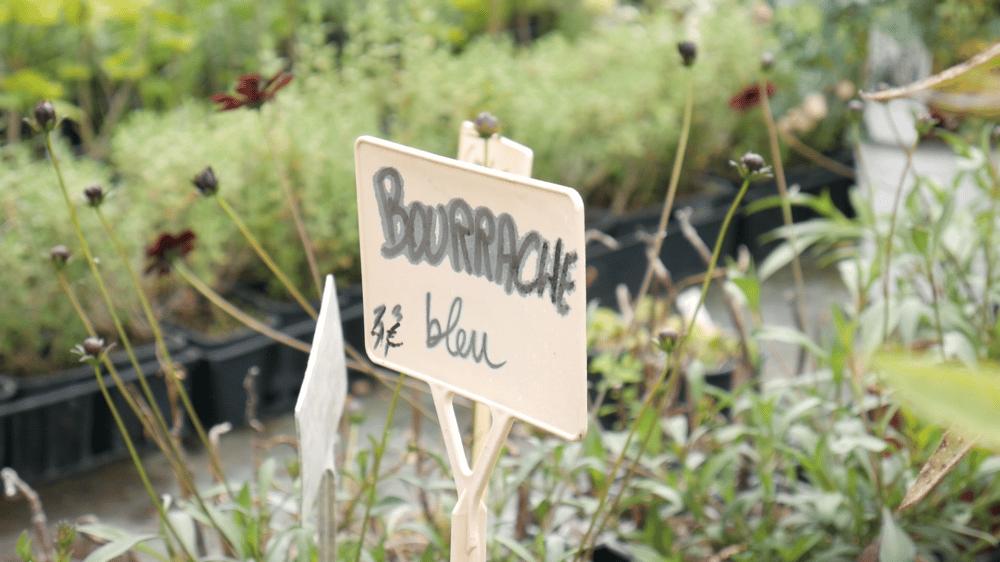 Bourrache bleu au jardin aromatique. Plante ayant le goût du Bleu