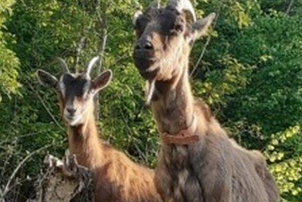 La Manufacture d'histoires Deux-Ponts confie l'entretien de ses espaces verts... à deux chèvres