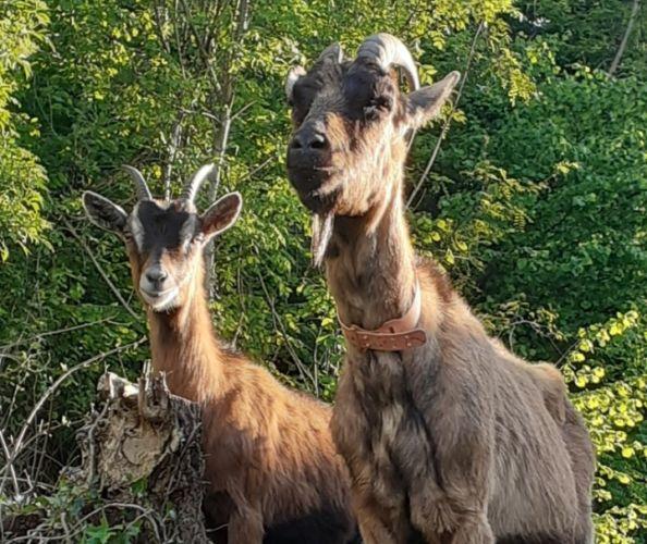 La Manufacture d'histoires Deux-Ponts confie à deux chèvres l'entretien de ses espaces verts © Manufacture d'histoires Deux-Ponts