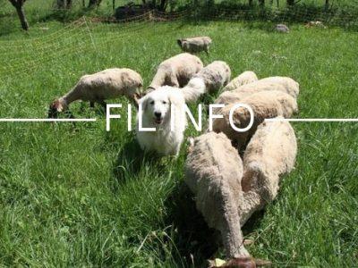 Fil Info chien de berger troupeau
