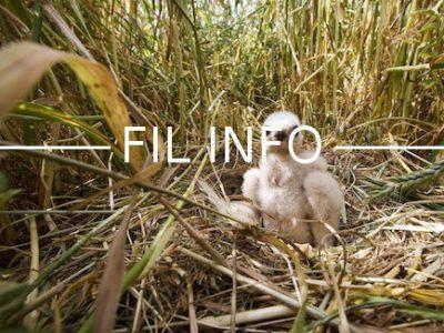 En Isère, les oisillons sont recueillis par la ligue de protection des oiseaux et pris en charge dans un centre de sauvegarde de la faune sauvage.