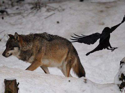 L'autorisation donnée aux chasseurs d'effectuer des tirs de loups lors de battues au gibier est illégale, a statué le tribunal administratif de Nice.