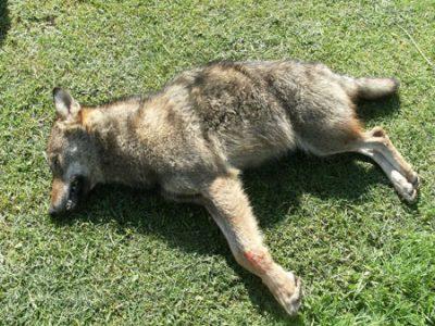 Loup trouvé mort à Échirolles en mai 2010 © P-E Briaudet - ONCFS