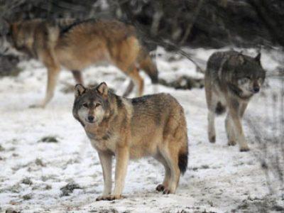 Nouvelles attaques attribuées au loup en Isère