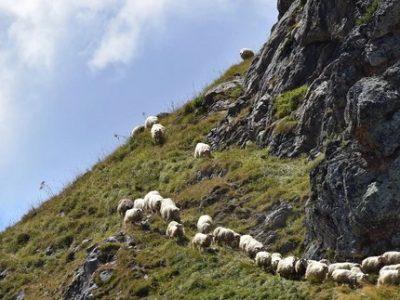 Moutons-troupeau-pyrenees-Couv