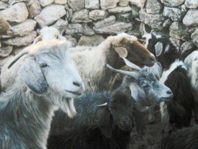 Des chercheurs grenoblois du Leca ont découvert que le syndrome de domestication de la chèvre et du mouton obéissait à des mécanismes génétiques différents.