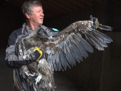 Après la marmotte, le bouquetin et le vautour fauve, le parc naturel régional du Vercors s'emploie à réintroduire le gypaète barbu avec un cinquième lâcher.