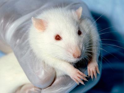 rat de laboratoire.