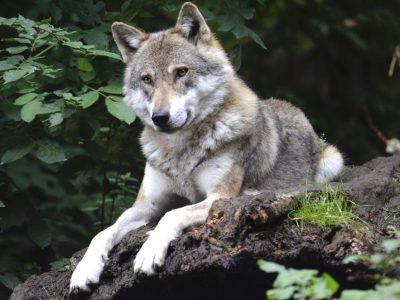 Le loup agite les passions